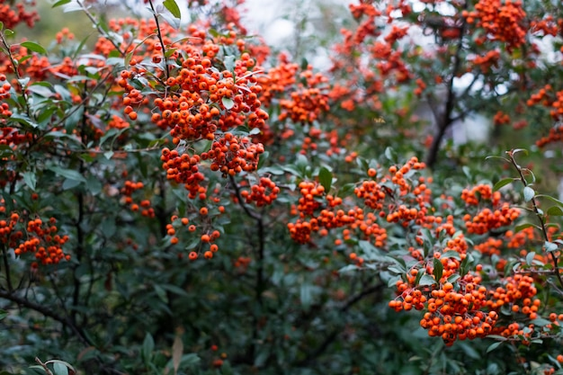 Red berries of pyracantha coccinea in summer