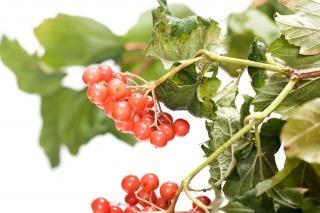 熟した赤い果実
