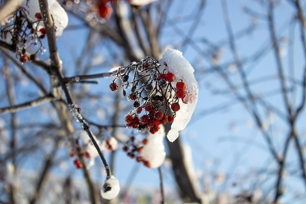 雪、雪、背景、山の灰、サンザシの下の赤いベリー。