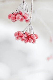 Red berries of viburnum.