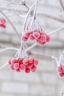 Red berries of viburnum.