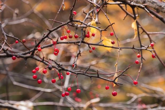 Красная ягода на ветке с размытым фоном осенних листьев.