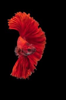 Красная бойцовая рыба на черном изолированном, betta fancy koi halfmoon plakat
