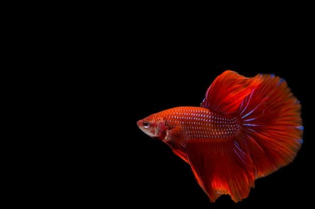 Red betta fish, siamese fighting fish on black background