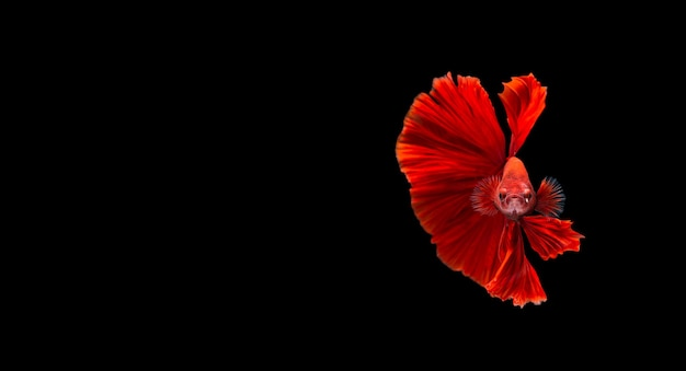 Red betta fish,siamese fighting fish in movement isolated on black.