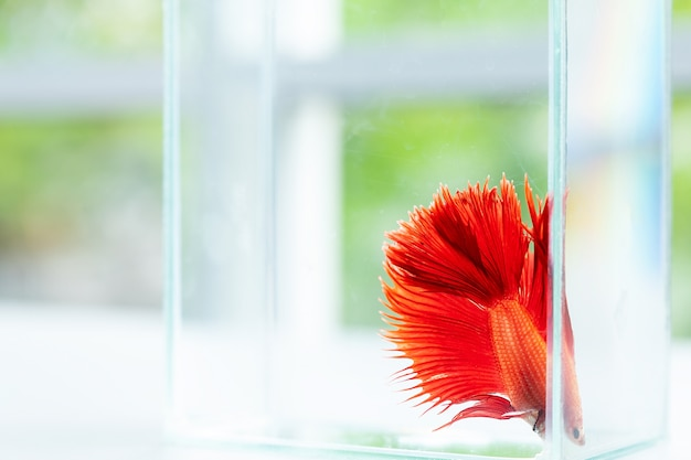 Red betta fish in tank. siamese fighting fish crown tail swimming and movement in aquarium