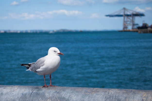 Red billed gull standing on the pier