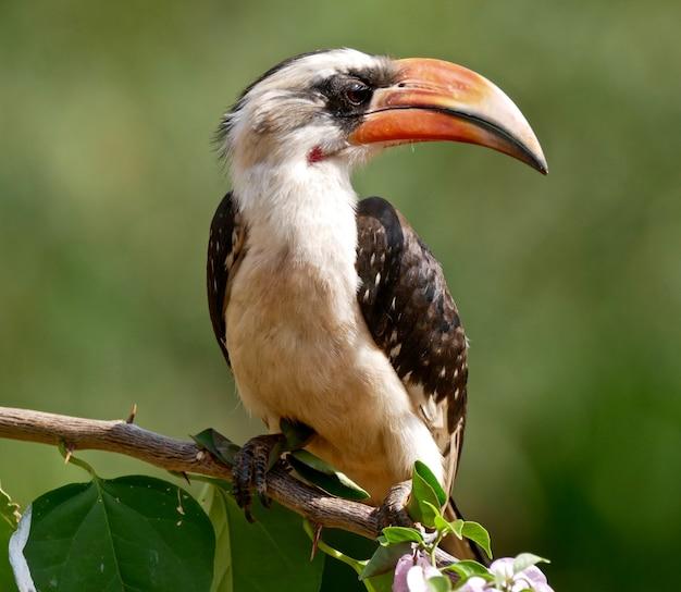 Red billed hornbill in amboseli national park - kenya