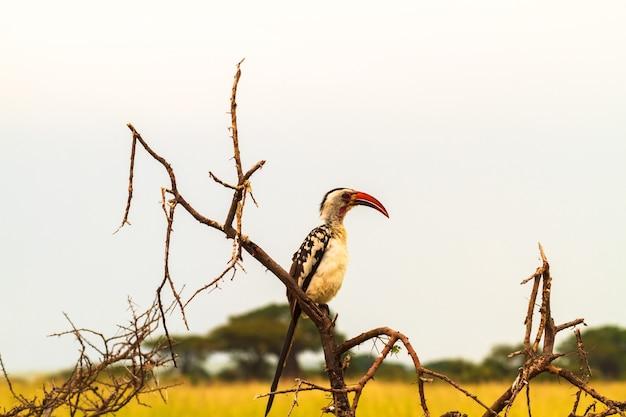 Красноклювый птица-носорог в тарангире. танзания, африка