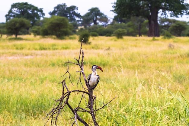 Красноклювый птица-носорог на ветке. танзания, африка
