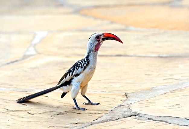 Красноклювый птица-носорог, tockus erythrochynchus, заповедник самбуру, кения