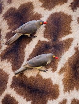 赤請求キツツキはキリンの皮膚の上に座っています。アフリカ。ケニア。タンザニア。セレンゲティ国立公園。