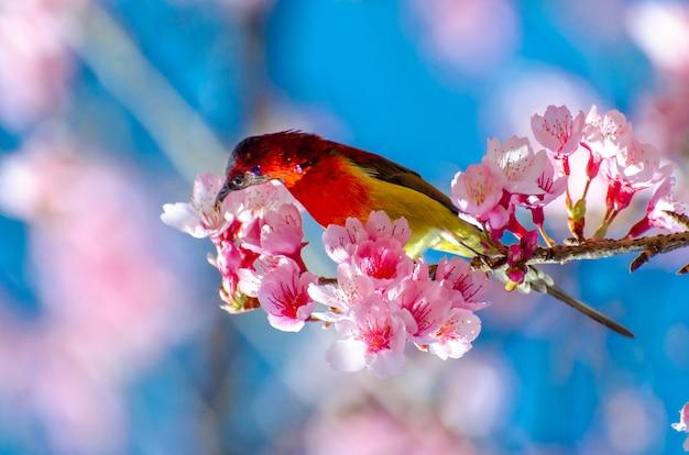 枝の上に腰掛けて赤い鳥青い背景さくら