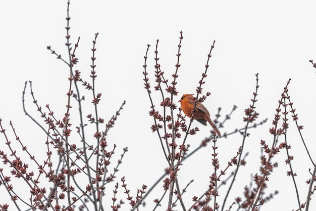 木の枝に赤い鳥