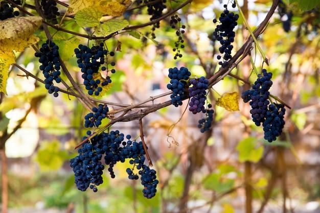 赤黒は、ぼやけた背景とコピースペースでブドウ園で育つイザベラブドウを束ねます。ブドウ園のコンセプトで収穫。