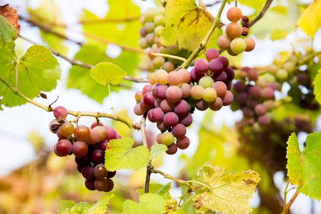 赤黒は、ぼやけた背景とコピースペースでブドウ園で育つマドレーヌアンジェバインブドウを束ねます。ブドウ園のコンセプトで収穫。