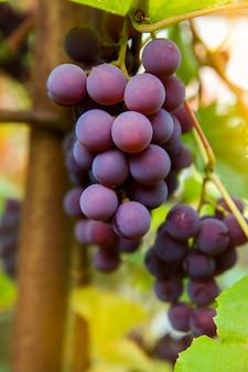 赤黒は、背景がぼやけてコピースペースがあるブドウ園で育つピノノワールのブドウを束ねます。ブドウ園のコンセプトで収穫。