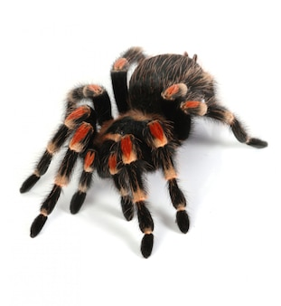 Red and black tarantula