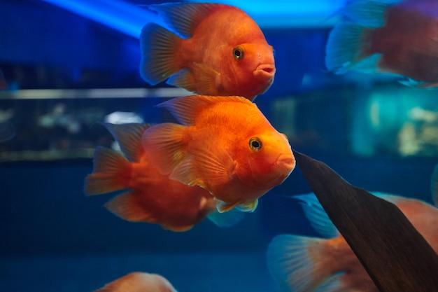 水族館の水槽で赤い血のオウムの魚。淡水魚のペット