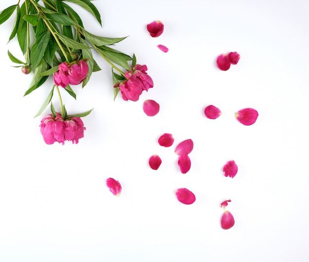 Red blooming peonies with green leaves, petals on a white background