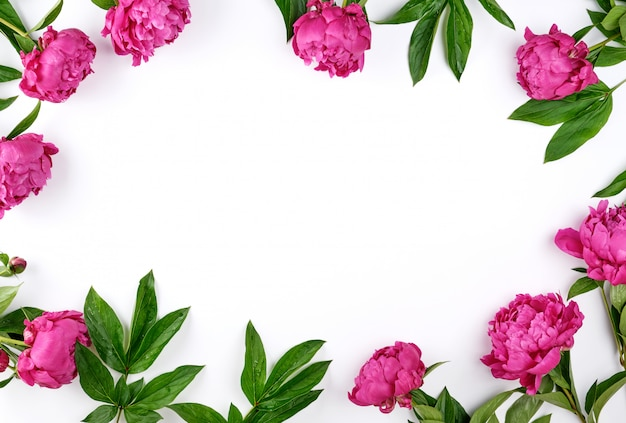 Red blooming peonies with green leaves a white frame background