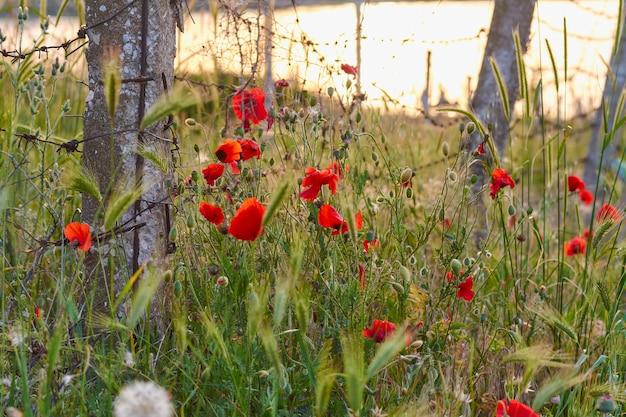 녹슨 철조망 배경에 붉은 꽃이 만발한 양귀비