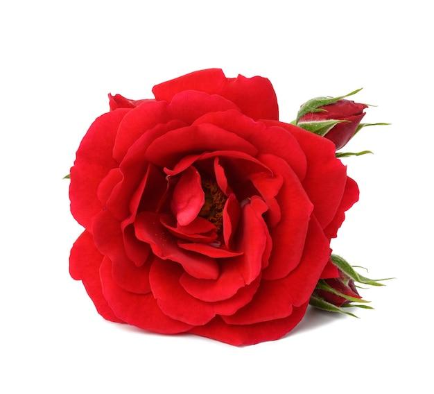 Красный цветущий бутон розы, изолированные на белой поверхности, крупным планом