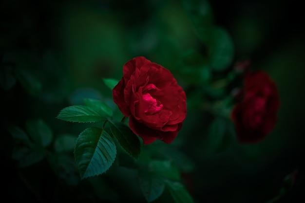 어두운 빛 정원에서 붉은 피는 장미