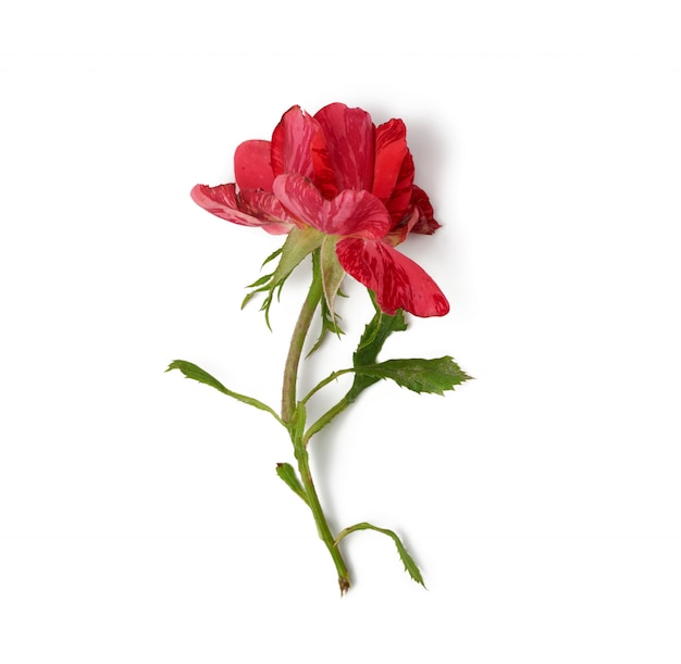 Red blooming rose isolated on white background