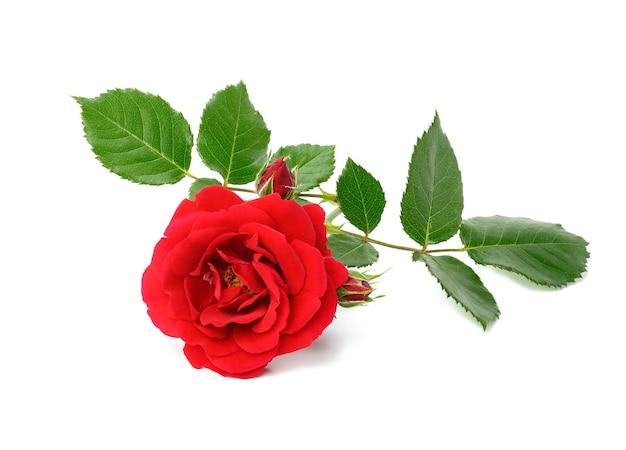 Красная цветущая роза с зелеными листьями, изолированными на белой поверхности, крупным планом