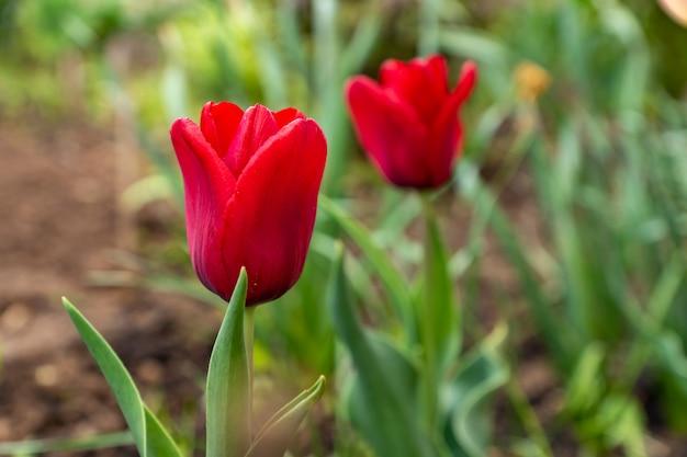 Красный цветущий тюльпан в саду в дождливый день