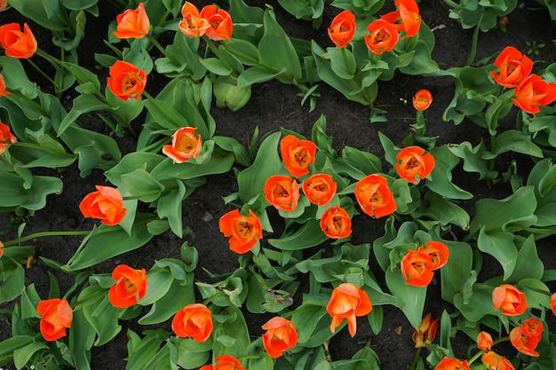 꽃 침대에서 붉은 피 튤립입니다. 평면도. 확대