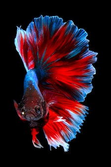 Red blue betta fish isolated on black