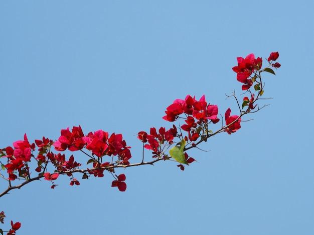Красный цветок бугенвилии для натурального лета