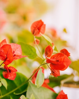 Red bougainvillea flowers against blurred backdrop