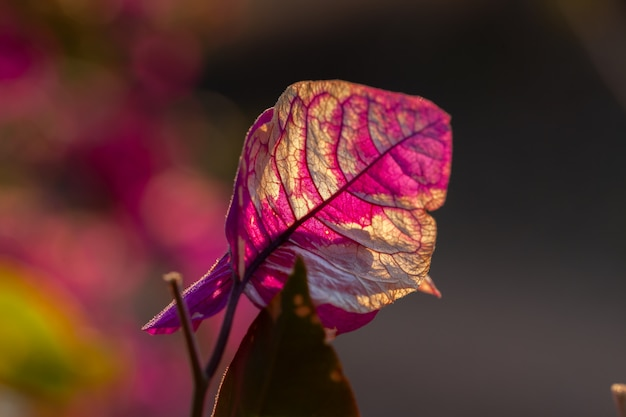 赤のブーゲンビリアの葉が消えて退色し、白のバックライトにフェードする