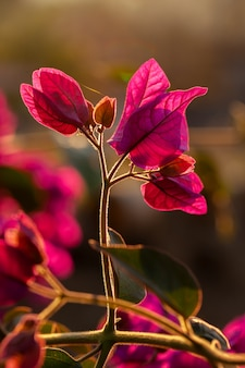 Red bougainvillea leaves backlight