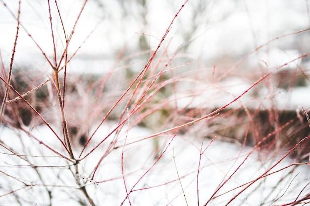 雪の背景に赤の枝