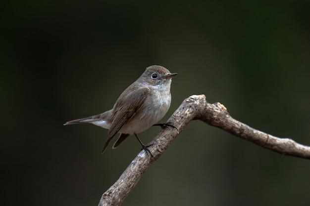 Red-breasted flycatcher, ficedula parva