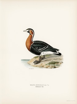 Red-breasted goose (branta ruficollis) illustrated by the von wright brothers.