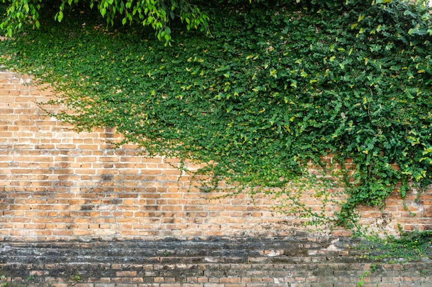 Red brick wall texture with green climber plant for background and cop