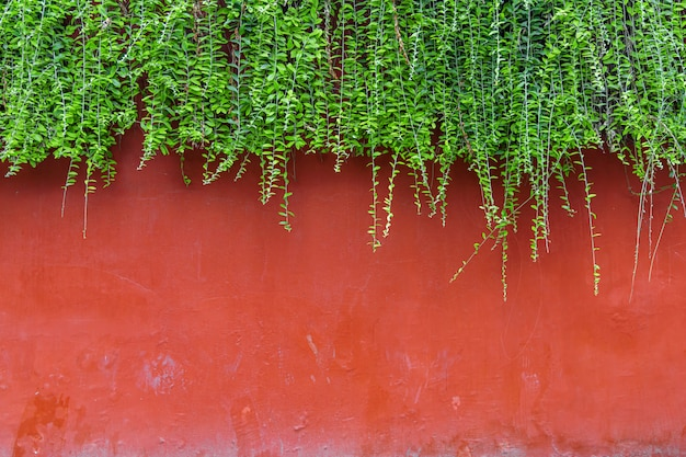 Red brick wall with green ivy on top of the wall.