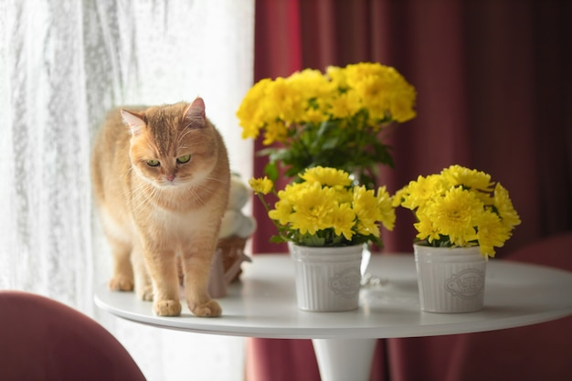 Красный британский кот на белом круглом столе среди желтых цветов