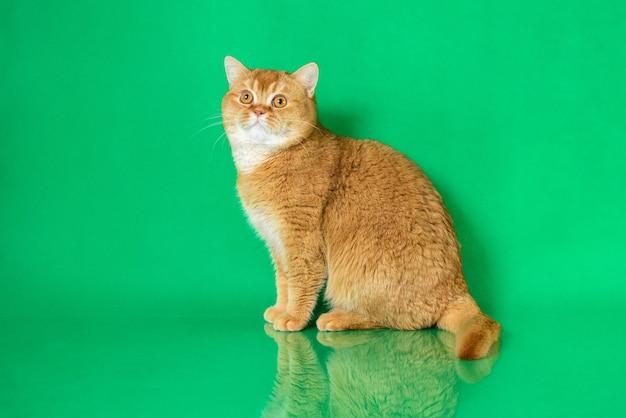 Красная британская короткошерстная кошка на зеленом фоне
