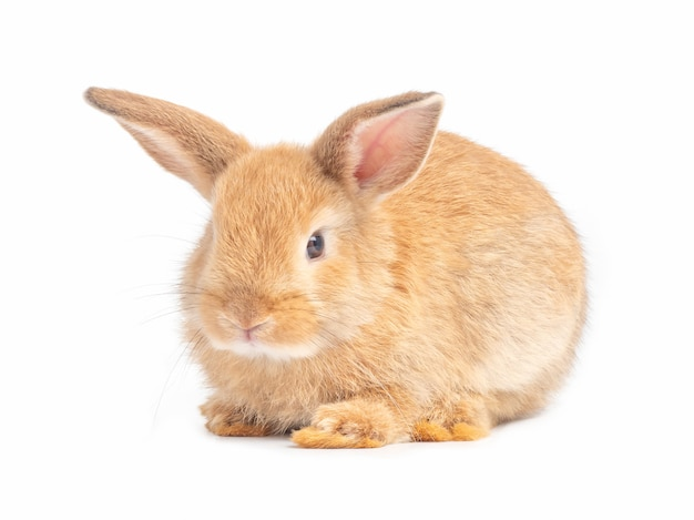 Red-brown cute baby rabbit isolated on white background.
