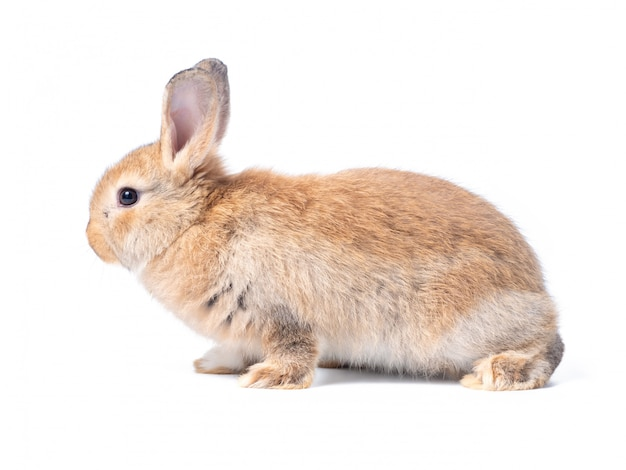 Red-brown cute baby rabbit isolated on white wall. lovely brown rabbit sitting.