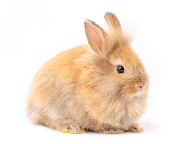 Red-brown cute baby rabbit isolated