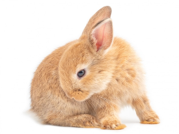 Red-brown cute baby rabbit sitting and licking hair on white background.