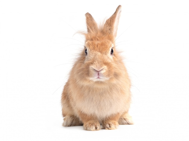 Red-brown cute  rabbit sitting isolated on white wall.