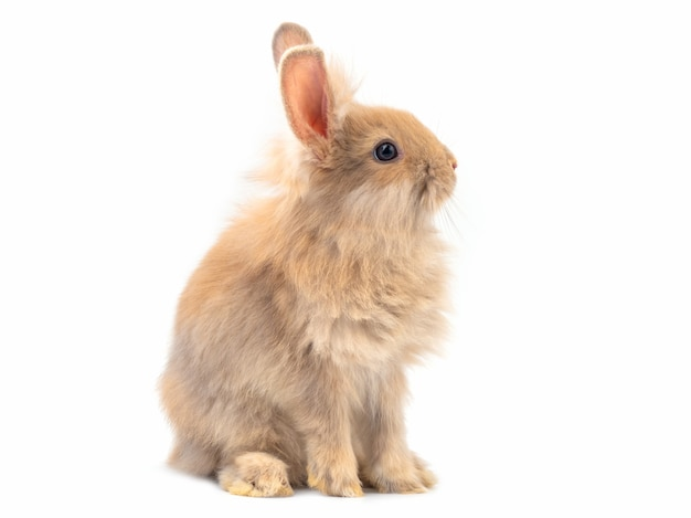 Red-brown cute rabbit sitting on white background.